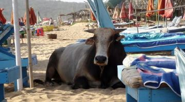 Cow-Baga-Beach-Goa-India-by-Skinnyde-Flickr